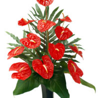 Anthurium Mixes