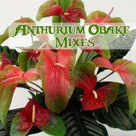 Anthurium Obake Mixes